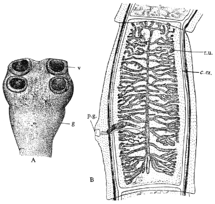 Taenia-saginata