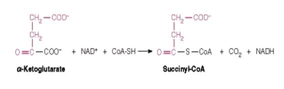 α-Ketoglutarat-Dehidrogenase-Kompleks
