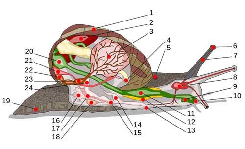 Anatomi-Gastropoda