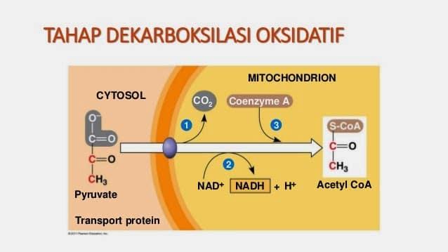 Dekarboksilasi-Oksidatif