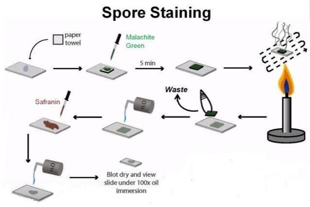 Metode-Pengecatan-Endospora