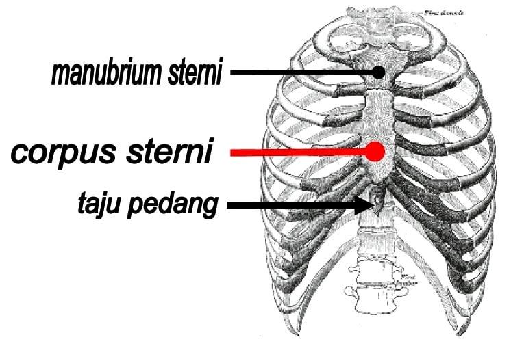 Proses-Pembentukan-Tulang-Dada