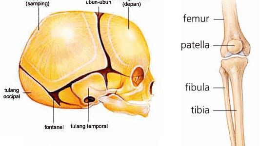 Sendi-Fibrosa