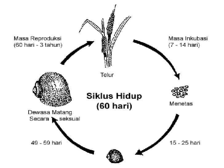 Siklus-Hidup-Gastropoda