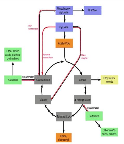 Siklus-Krebs