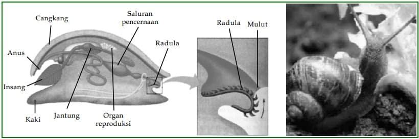 Sistem-organ-dalam-tubuh-Gastropoda