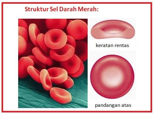 Struktur-Eritrosit