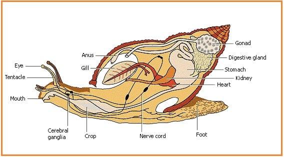 Struktur-Tubuh-Gastropoda