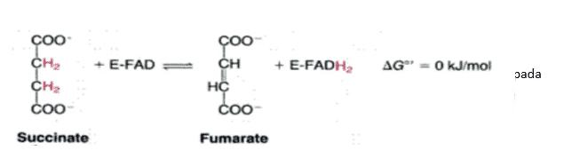 Suksinat-Dehidrogenase