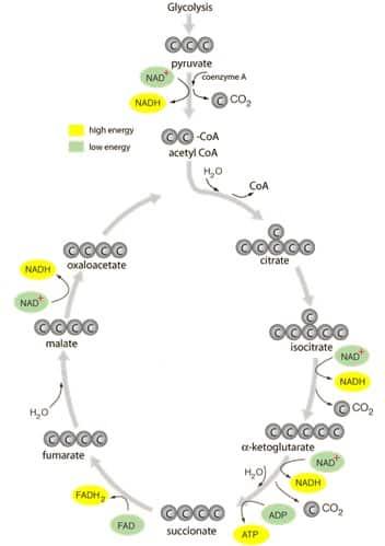 Tahapan-Siklus-Krebs
