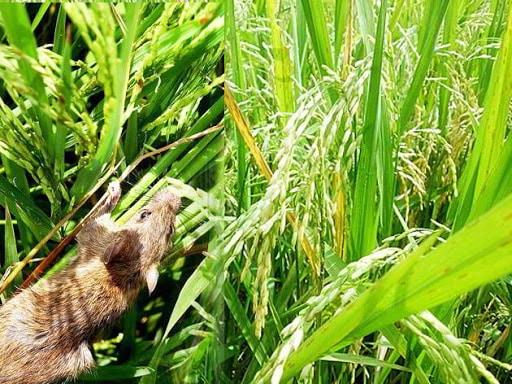 Tikus-dan-Petani
