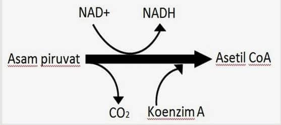 mekanisme-siklus-krebs