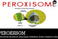 pengertian-peroksisom