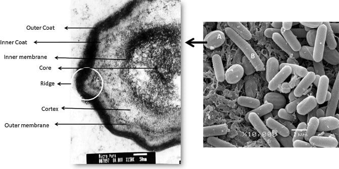 struktur-endospora-bakteri
