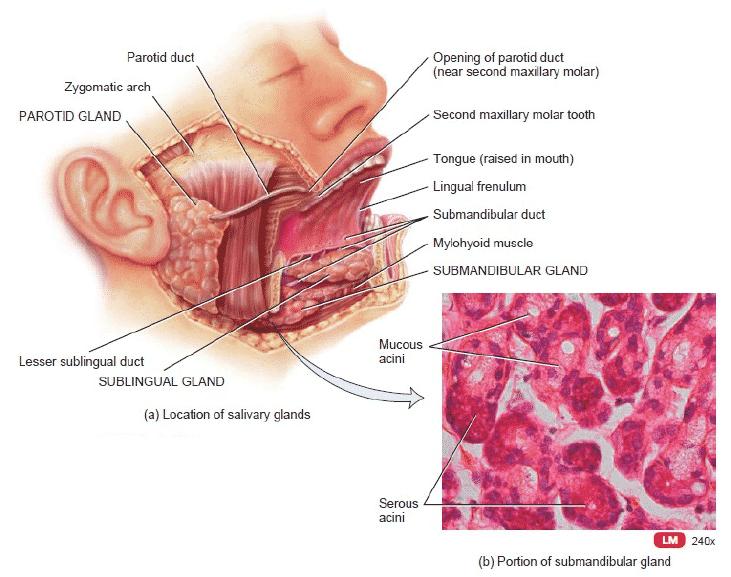 Anatomi-Kelenjar-Saliva