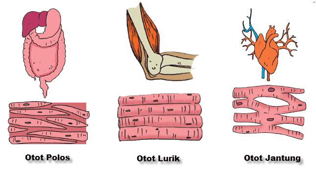 Ciri-Otot-Polos