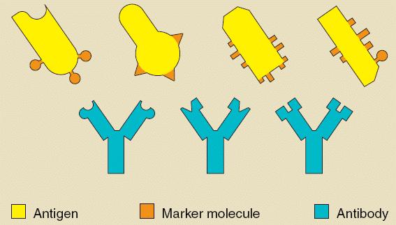 Fungsi-Antigen
