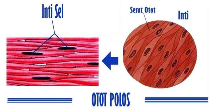 Fungsi-Otot-Polos