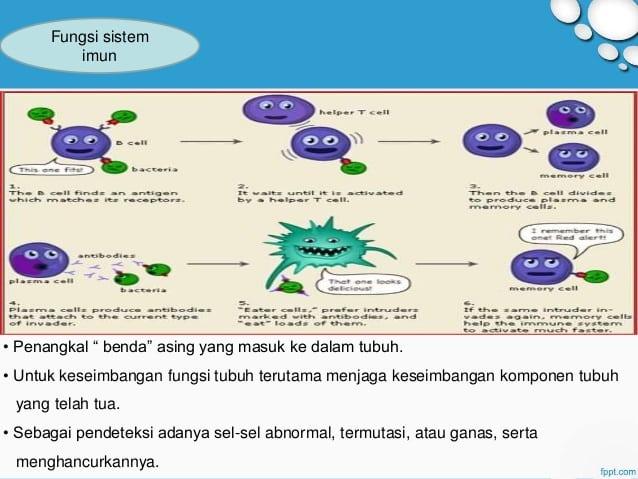 Fungsi-Sistem-Imun