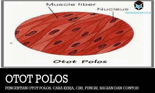 Pengertian Otot Polos