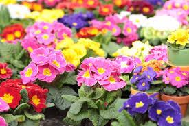 Tanaman-Hias-(Florikultura)