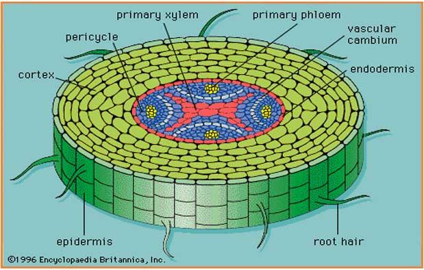 Pengertian Jaringan Epidermis Derivat Struktur Ciri Bentuk