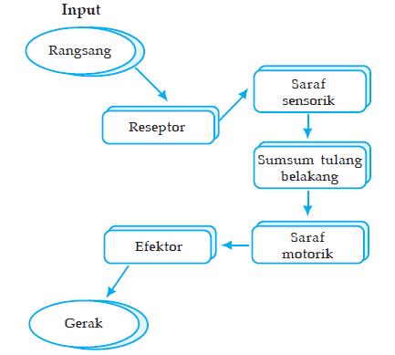 Mekanisme-Gerak-Refleks