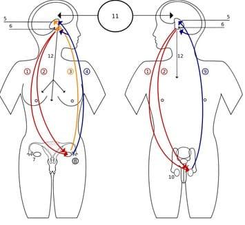 Peranan-Hormon-pada-Reaksi-Anabolisme