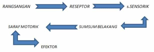 Proses-Gerak-Refleks.jpg