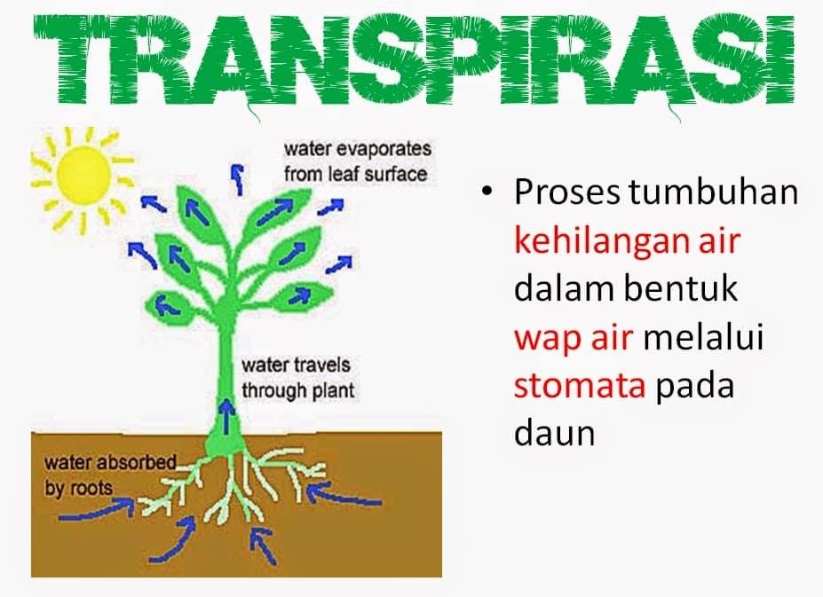 Proses-Transpirasi-Pada-Tumbuhan
