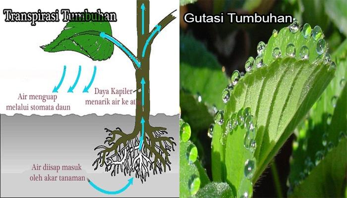 Transpirasi-dan-Gutasi-Tumbuhan