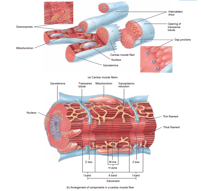 Cara-Kerja-Otot-Jantung