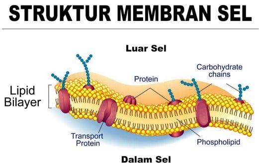 Komponen-Membran-Sel